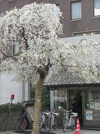 おまわりさんと桜