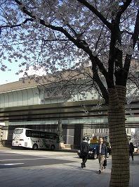 日本橋横の桜